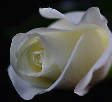 White Rosebud by imagesbyjd