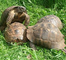 Bullied into Submission - Mating Tortoises by taiche