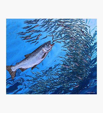 Chinook Salmon Photographic Print