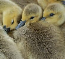 Snuggle Ducks by Ben Slawson