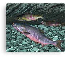 Chum Salmon Canvas Print