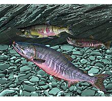 Chum Salmon Photographic Print
