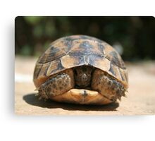 Young Spur Thighed Tortoise Looking Out of Its Shell Canvas Print
