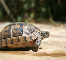 Sideview of A Walking Turkish Tortoise by taiche