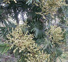 Acacia by Bob Hardy