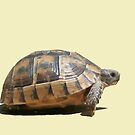 Sideview of A Walking Turkish Tortoise Isolated by taiche