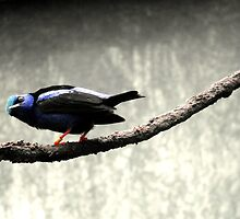 Red-Legged Honey Creeper by sternbergimages