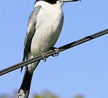 Grey Butcherbird ~ The Pavarotti of the bush  ♫♫ ♪ ♪ ♬  by Robert Elliott