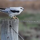 Black Shouldered Kite by DanielTMiller