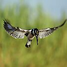 African Pied Kingfisher by Dean Wraith