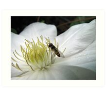 Hoverfly on a Virgins Bower Art Print