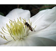 Hoverfly on a Virgins Bower Photographic Print