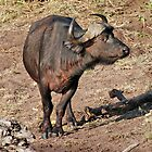 African Buffalo, Chobe National Park, Botswana, Africa by Adrian Paul