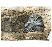 "Burrowing Owl - ""Mr. Big Eyes"" Poster"