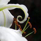 Lilies Series 4 by Bradley Old