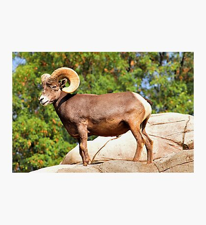 Beautiful Ram Photographic Print