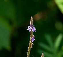 Swamp Vervain (Verbena hastate) by Mike Oxley