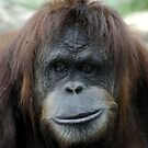 Portrait Orangutan by Anne Smyth