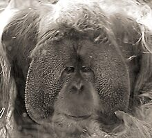 Orangutan  by Susan  Bloss
