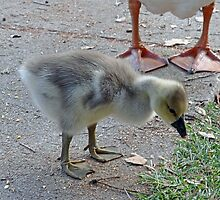 baby goose under (webbed) foot by Lenny La Rue, IPA