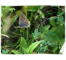 Female Common Blue 01 Poster
