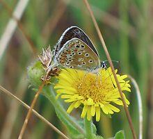 Female Common Blue 02 by Sharon Perrett