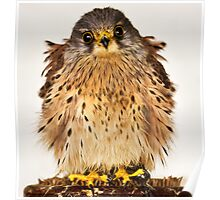 Baby Kestral Poster