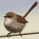 Female superb fairy wren by Morpheus
