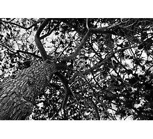 Pine tree canopy Photographic Print