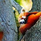 red panda by micd968