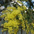 Yellow Wattle by Kylie Van Ingen