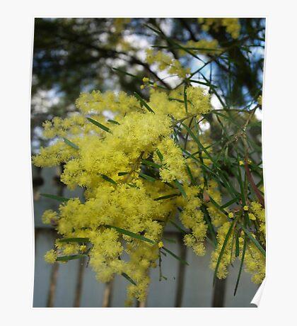 Yellow Wattle Poster