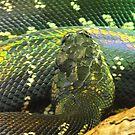 Boelen's Python by sternbergimages