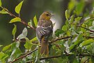 Very Wet Oriole by Lynda  McDonald
