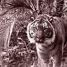 Panthera Tigris Sumatrae by Andrea Searle