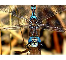 Smiley the Blue – eyed  Darner  Photographic Print