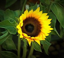 Sun Flower by brijo
