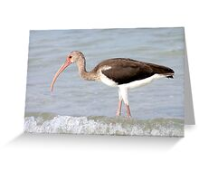 Feeding Ibis Greeting Card