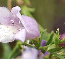Eremophila. Kalgoorlie West Australia by robynart
