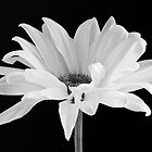 Lone Daisy by Harry H Hicklin