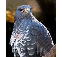 Handsome Buzzard!! Photographic Print
