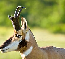 Pronghorn Profile by Michael Wolf
