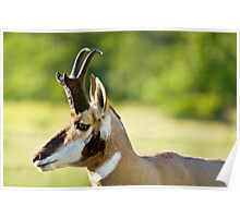 Pronghorn Profile Poster