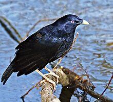 Satin Bowerbird  ~ Wet Satin by Robert Elliott