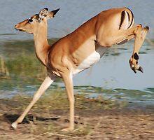 Impala  - Moremi Wildlife Reserve, Botswana, Africa by Adrian Paul