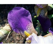 Iris Petal Photographic Print