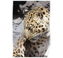 Shy Leopard Poster