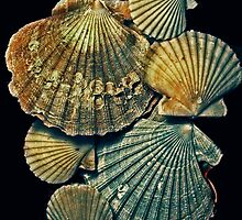 fossil pectens by lastgasp