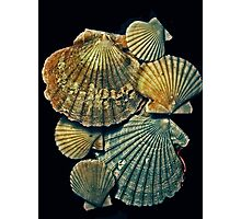 fossil pectens Photographic Print