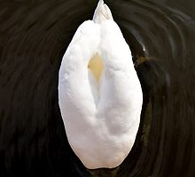 Feathery lily (or swans butt!) - photograph by Paul Davenport